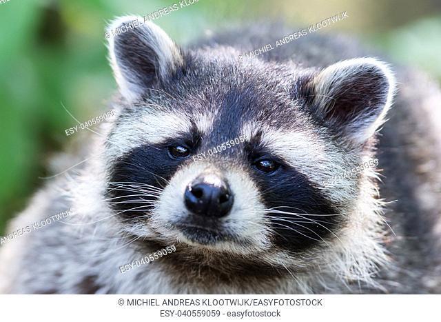 Eye to eye with raccoon, selective focus on the eye