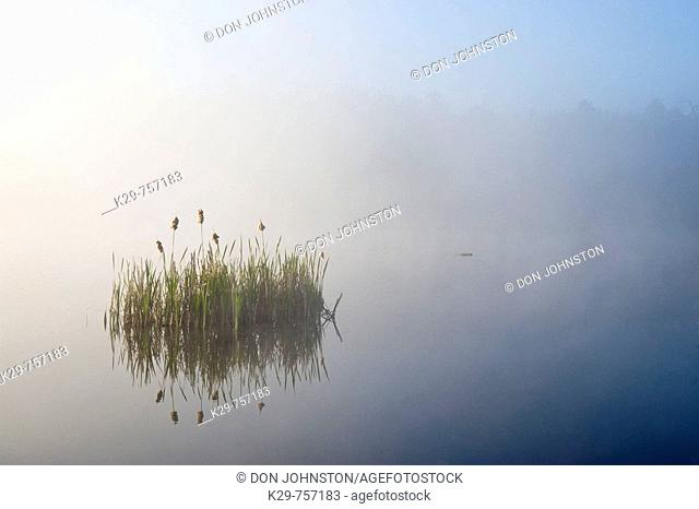 Aquatic vegetation in fog in beaver pond at sunrise