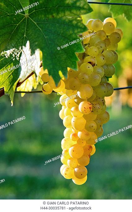 Italy, panorama of vineyards of Piedmont Langhe-Roero and Monferrato on the World Heritage List UNESCO. Bunches of Moscato d'Asti
