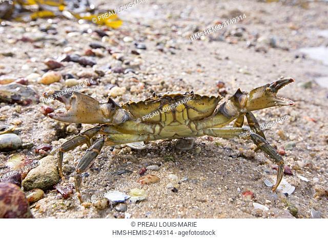 France, Vendee, Noirmoutier, green crab (Carcinus maenas)