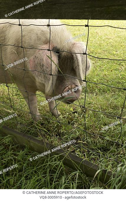 Bristly and floppy eared pig with a ringed snout behind a wire and wooden fence in the grassy shadows of Gloucestershire, England