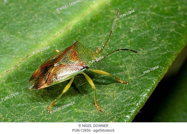 Close-up of a hawthorn shieldbug Acanthosoma haemorrhoidale resting on a leaf in a Norfolk wood