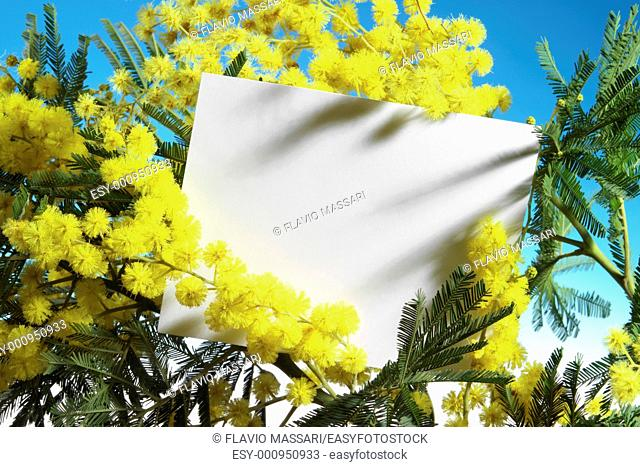 mimosa flowers with blank card