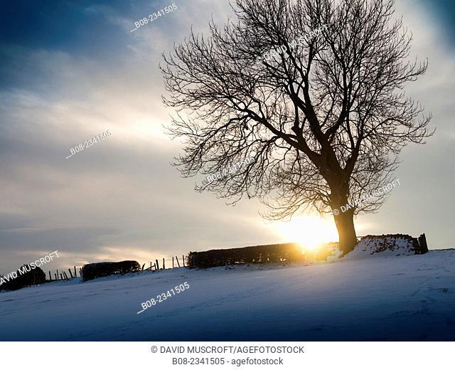 tree at sunset in snow,near Matlock,Derbyshire,Britain (December 2014)