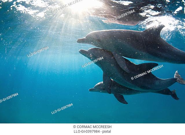 Underwater image of three bottlenose dolphin Tursiops truncatus, Ponta do Ouro, Mozambique