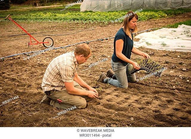 Two farmer planting small plant in the soil