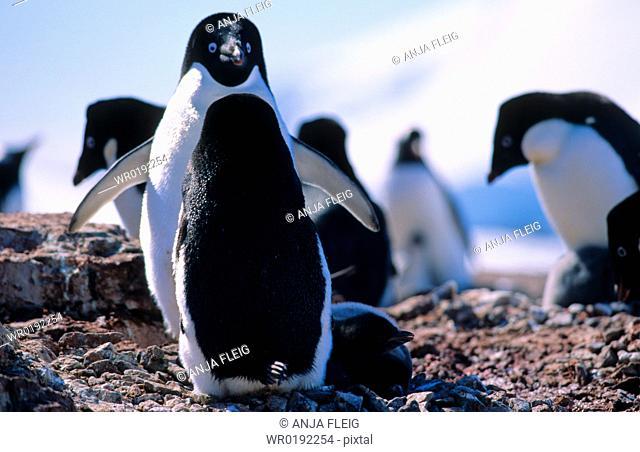 AdÈlie Penguins Pygoscelis adeliae standing face to face Petermann Island, Antarctica