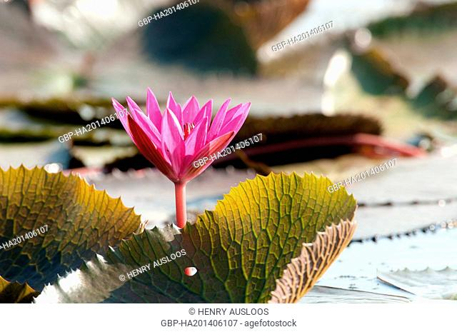 Red Indian water lily - open flower (Nymphaea pubescens) - Tale Noi - Patthalung - Thailand