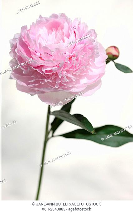 paeonia lactiflora, Sarah Bernhardt pink peony, they embody romance and prosperity