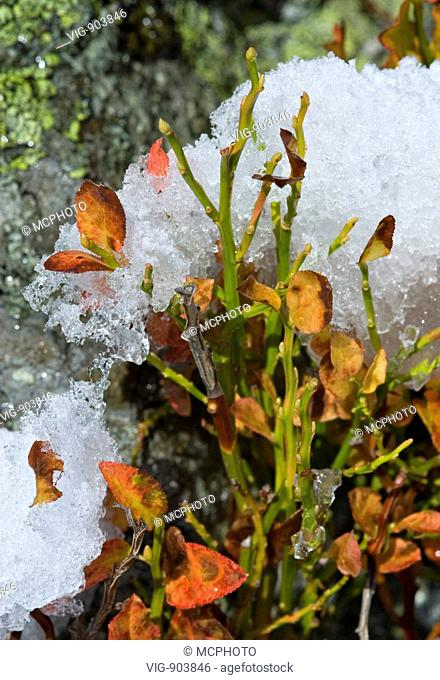 This stock photo shows a cranberry bush with autumn leaves covered with melting snow. The image was taken on sunny autumn morning. - 14/07/2008