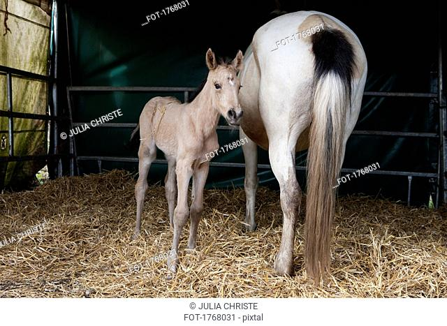Horse and foal in barn
