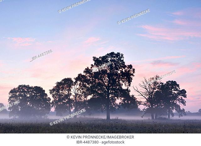 English oak (Quercus robur), morning mist, morning light, Middle Elbe Biosphere Reserve, Saxony-Anhalt, Germany