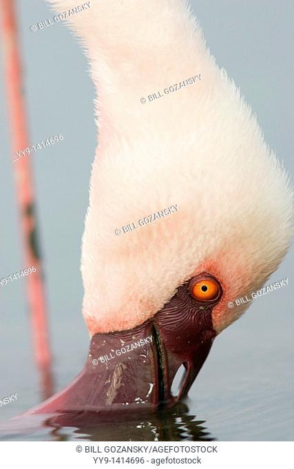 Close-up of Flamingo Feeding - Lake Nakuru National Park, Kenya