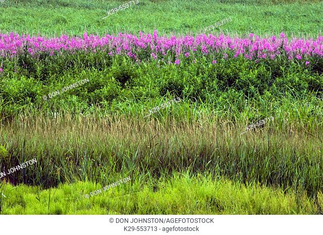 Line of blooming fireweed and grasses. Ontario, Canada