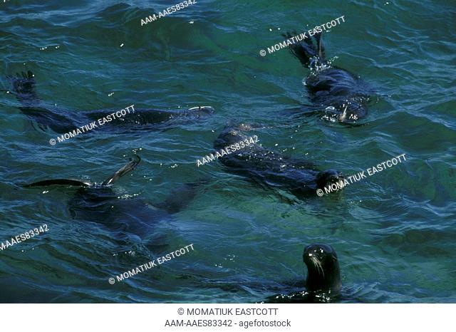 N. Fur Seals (Callorhinus ursinus), St Paul Isl., Pribilofs, AK, adult males, non-territorial, swim together to clean & groom dense fur