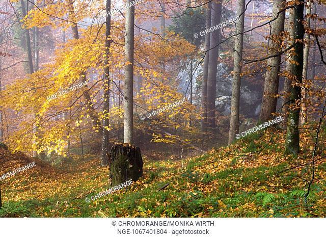 Autumn forest in the morning mist, lake Koenigssee, Berchtesgaden Nation Park, Berchtesgadener Land, Upper Bavaria, Bavaria, Germany, Europe
