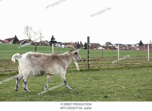 Goat walking in field, Bavaria, Germany
