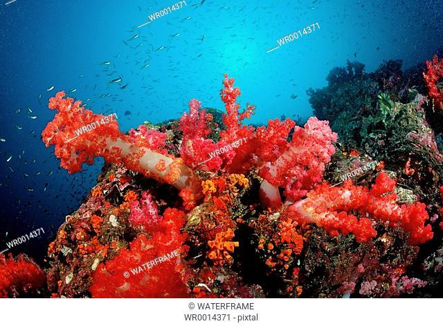 Coloured Soft Corals, Similan Islands, Thailand