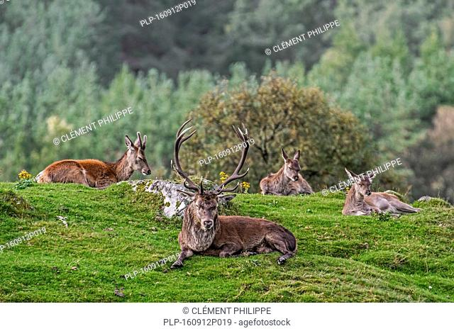 Red deer (Cervus elaphus) stag with hinds and young male resting in the Scottish Highlands, Scotland, UK