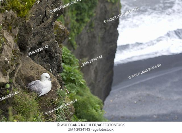 A Northern fulmar (Fulmarus glacialis) is nesting in the cliff of Dyrholaey, a small peninsula, or promontory, is located on the south coast of Iceland