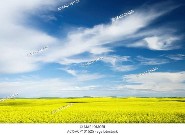 A bright contrast is created between the yellow Canola field and the blue sky in Alberta
