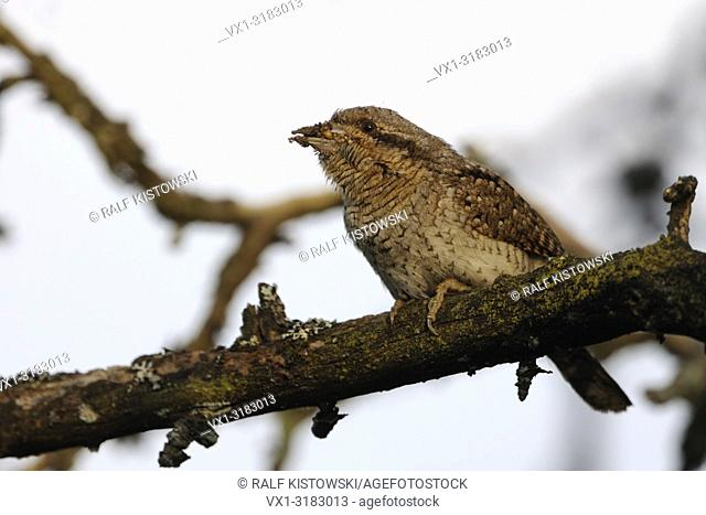 Eurasian Wryneck ( Jynx torquilla ) perched on a branch of an old pear tree with ant eggs and larvae in its beak to feed its fledlings