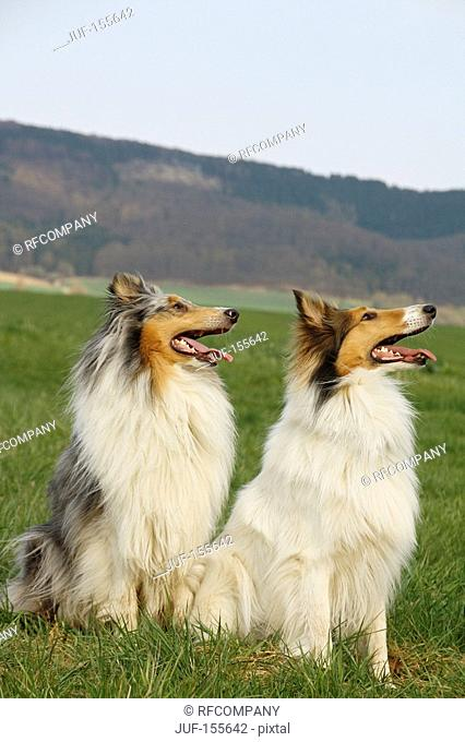 two long-haired Collie dogs - sitting on meadow
