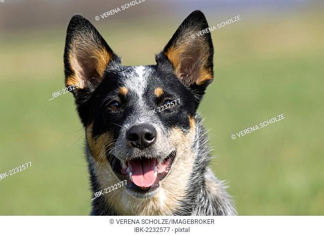 Australian Cattle Dog, portrait
