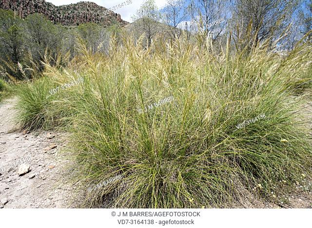 Esparto (Stipa tenacissima) is a perennial herb endemic to South Iberian Peninsula and north Africa. Produces a fiber used to manufacture basketry and cords
