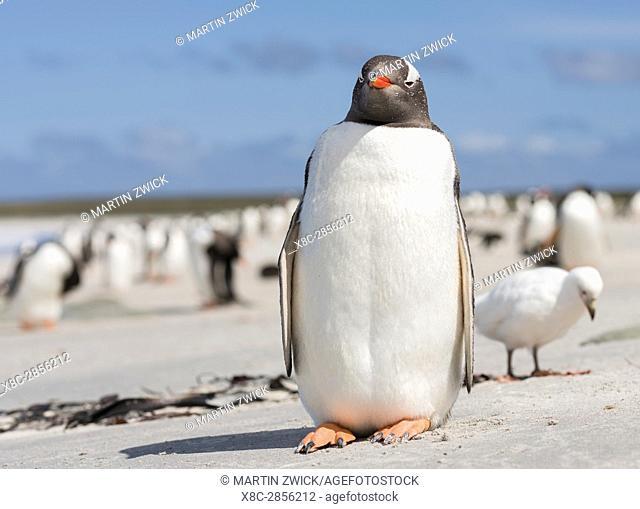 Gentoo Penguin (Pygoscelis papua), Falkland Islands. South America, Falkland Islands, January