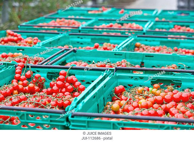 Abundance of ripe red vine tomatoes in crates