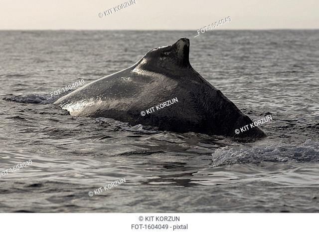 Humpback whale swimming in sea