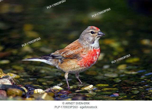 Common linnet (Linaria cannabina / Acanthis cannabina / Carduelis cannabina) male drinking water from brook