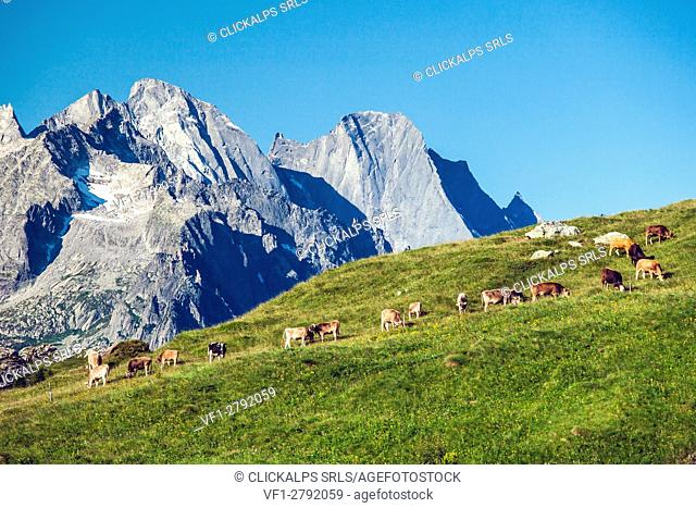 A herd of cows admiring the north wall of Pizzo Badile, Switzerland Europe