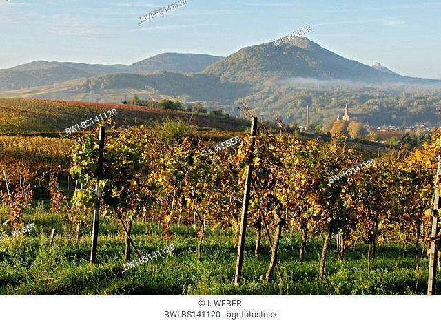 grape-vine, vine (Vitis vinifera), vineyards at the German Wine Route, Germany, Rhineland-Palatinate, Palatinate Forest, Albersweiler