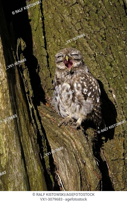 Little Owl / Minervas Owl ( Athene noctua ), young bird, sitting in an old tree, sunbathing, yawning, screaming, wide open bill, wildlife, Europe. .