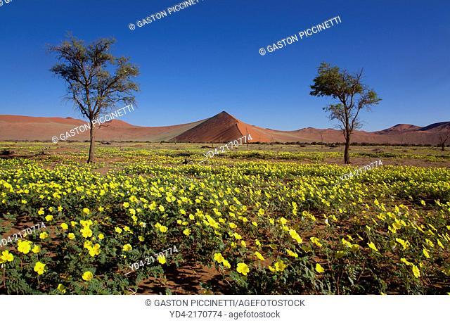 Flowers in rainy season, Ses Riem, Namib-Naukluft National Park, Namib desert, Namibia