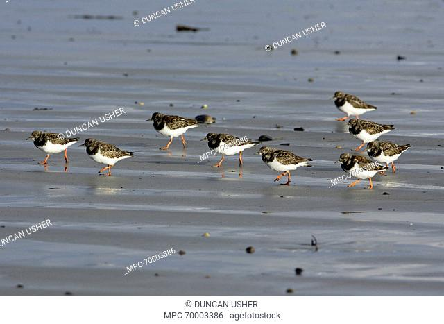 Ruddy Turnstone (Arenaria interpres) group walking over the beach, Northumberland, England