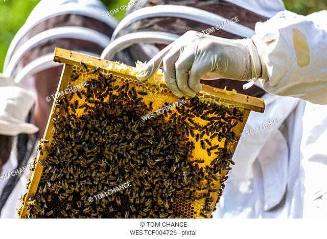 Two beekeepers holding stillage with honeycomb