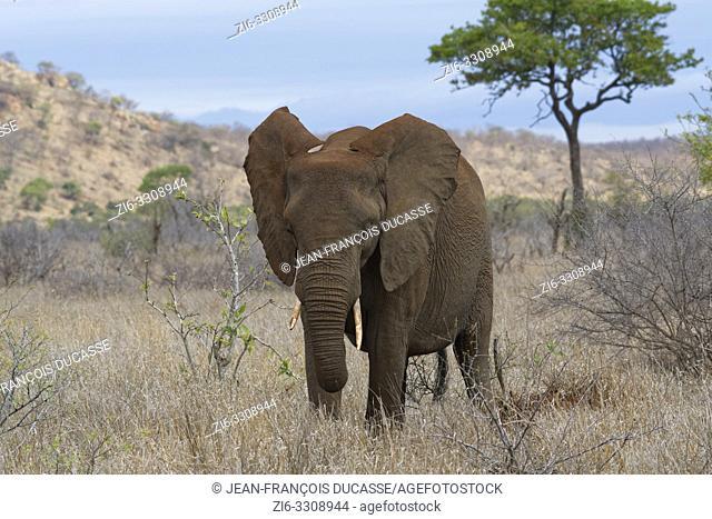 African bush elephant (Loxodonta africana), elephant cow feeding on dry grass, Kruger National Park, South Africa, Africa