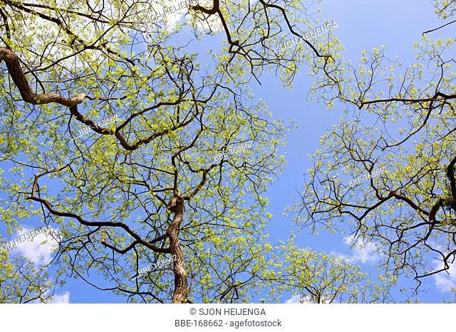 Robinia in a forest near Diepenveen, Overijssel