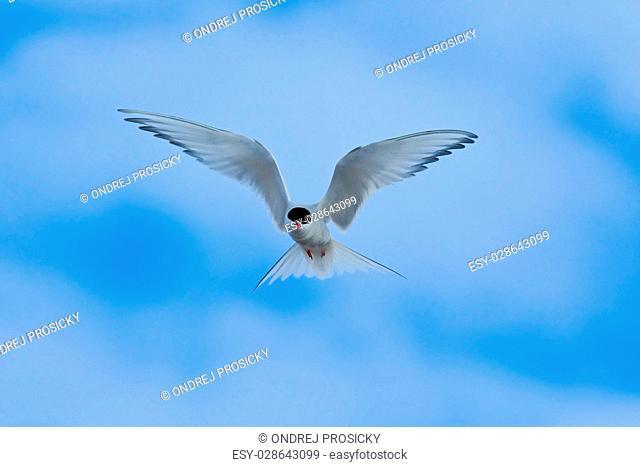 Arctic Tern in flight, Sterna paradisaea