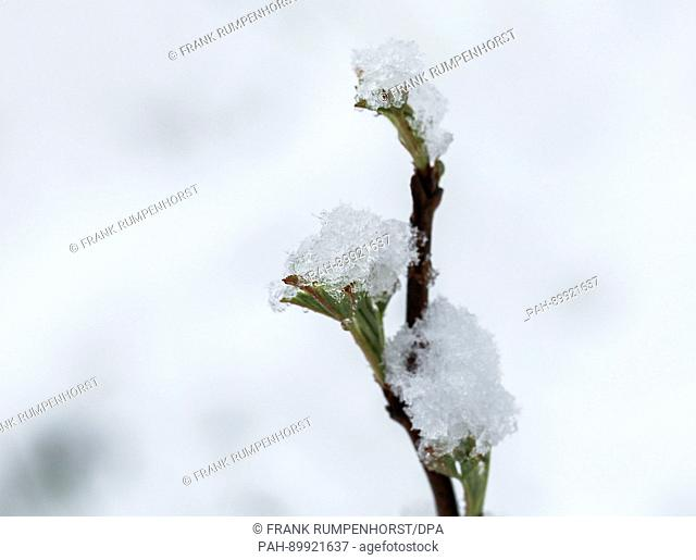 Snow lies on Easter Monday on the leaf buds of a shrub at the GrosserFeldberg mountain in the Taunus range in Hesse, Germany, 17 April 2017