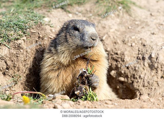 France, Alpes de Hautes Provence (04), Chabanon , hameau de Selonnet , Marmotte (Marmota marmota) , mange du pissenlit / France, Alpes de Hautes Provence