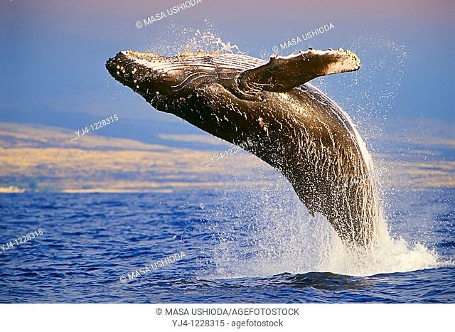 Humpback Whale, breaching at sunset, Megaptera novaeangliae, Hawaii, Pacific Ocean