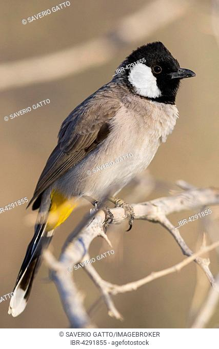 White-eared Bulbul (Pycnonotus leucotis), adult perched on a branch, Khatmat Milalah, Al Batinah, Oman