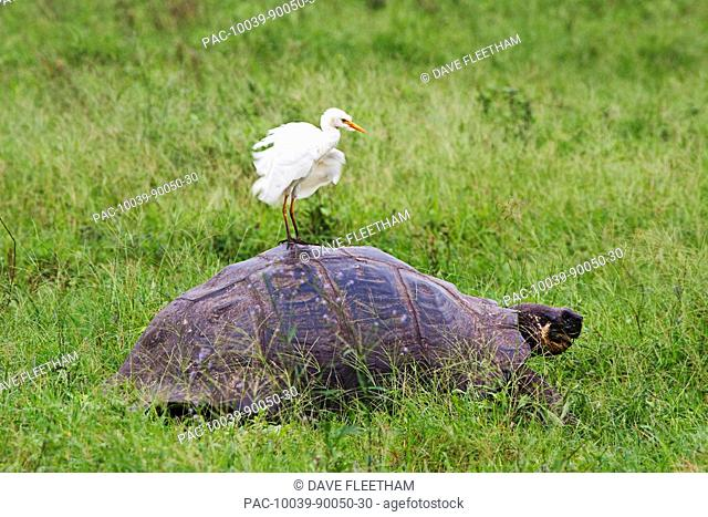 Ecuador, Galapagos Archipelago, Santa Cruz Island, A cattle egret, Bubulcus ibis, flaps feathers while standing on the back of a Galapagos giant tortoise