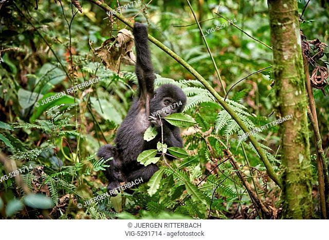UGANDA, BUHOMA, 17.02.2015, juvenile mountain gorilla - Buhoma, Uganda, 17/02/2015