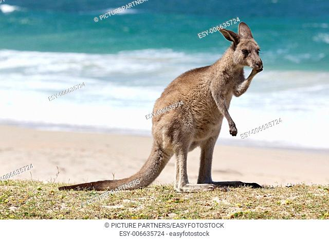 Red Kangaroo on the beach, Depot Beach,New South Wales, Australia