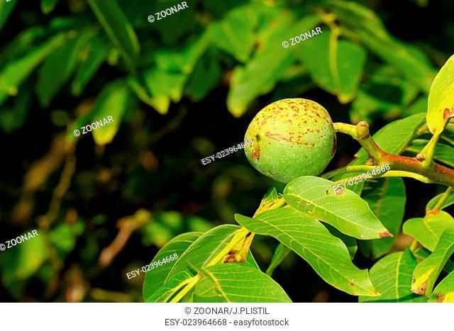 Walnut growing on tree